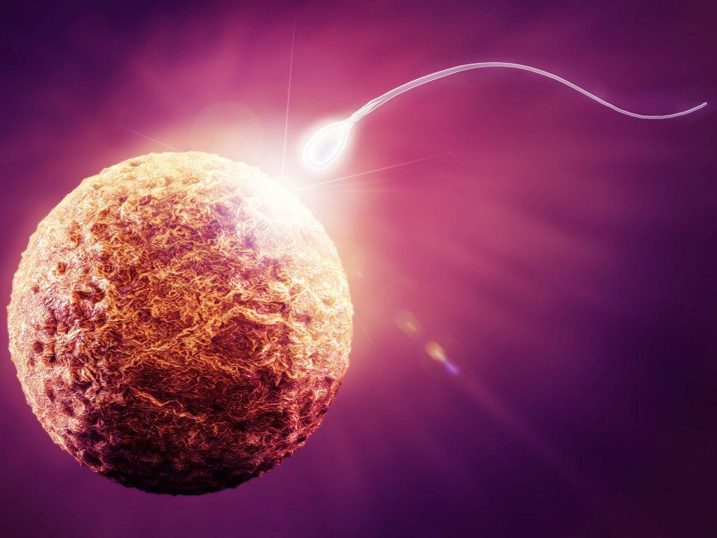 слияние спермия и яйцеклетки